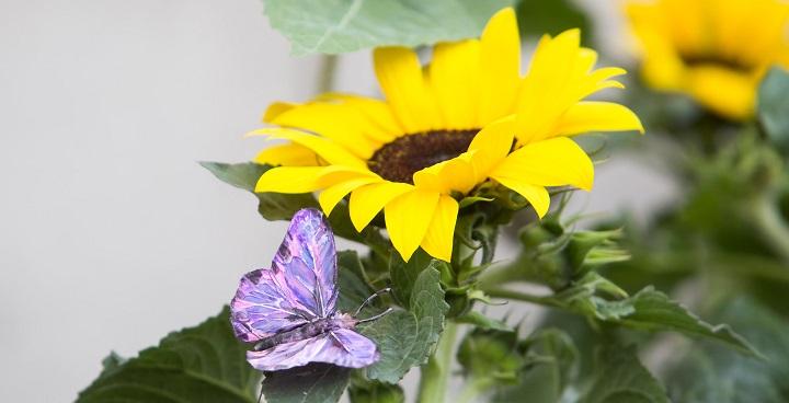 The Sunflowers Butterflies Garden