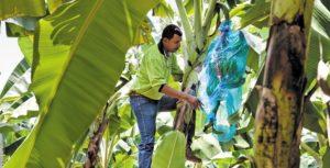 man harvesting from fairtrade banana tree