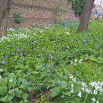 Slade Gardens spring flowers
